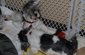 affenpinscher good bad exercise pen same shih tzu different day