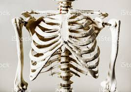 anatomical skeleton rib cage stock photo more pictures of anatomy