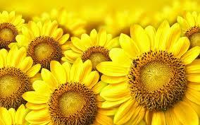 Foto Wallpaper Bunga Matahari | 图片bunga matahari deloiz 图片mata hari 照片从jeffrey18 照片图像图像