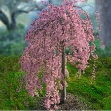 pink snow showers weeping cherry hoette farms nursery
