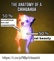 Rat Meme - the anatomy of a chihuahua 50 unconditional love and