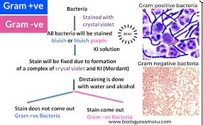 example of gram positive bacteria examplesof net