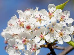 blossom trees 4 flowering cherry trees and how to plant them hgtv