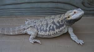 normal color morph u2022 bearded dragon org