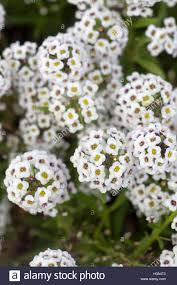 alyssum flowers sweet alyssum flowers stock photo royalty free image 122539875