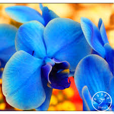 blue orchids for sale sale bonsai flower blue butterfly orchid seeds beautiful