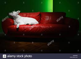 German Leather Sofas White German Shepherd Reclining On Leather Sofa Stock