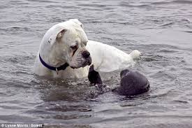 boxer dog in heaven boxer dog gets slap from seal during game of fetch daily mail online