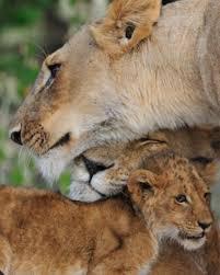 imagenes lindas naturaleza pin de bill fitzgerald en lions and tigers and big cats oh my
