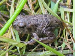 wyoming toad amphibian rescue and conservation project