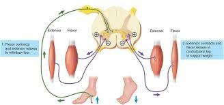 Motor Reflex Arc Spinal Reflexes The Salience