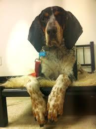bluetick coonhound beagle bluetick coonhound beagle pinterest bluetick coonhound dog