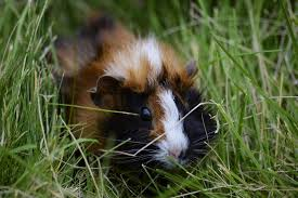 150 perfect names for your pet guinea pig