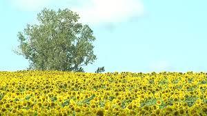 grinters sunflower farm perfect family photo shoot reed hoffmann