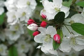 how to choose the best crab apple tree csmonitor