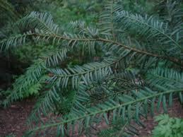 native oregon plants plants rcesc pcc