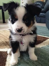 rockin b miniature australian shepherd 144 best puppies images on pinterest puppies schnauzers and pets