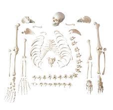 Anatomy Of The Human Skeleton Shop For Disarticulated Skeletons And Models Human Skeleton
