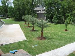 sylvester palm tree sale palm tree types and palm tree pictures from palm trees of houston