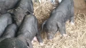 meishan pigs u2013 gods blessing farm llc