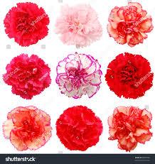 set 9 carnation flowers stock photo 96881500 shutterstock