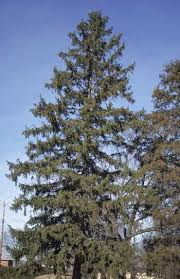 trees of ohio spruce