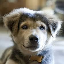 australian shepherd mastiff mix 24 dog breeds mixed with husky barkpost