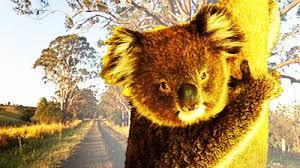 17 11 2009 endangered koalas