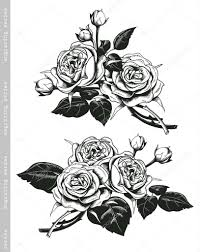 hand sketched set of white roses in vintage engraving style