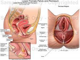 Female Anatomy Organs Htm Cool Pic Of Female Anatomy At Best Anatomy Learn