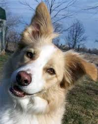 australian shepherd or border collie bc museum yellow or tan border collies