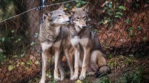 u s efforts once saved the wolf but missteps may push the