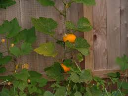 growing pumpkins on a trellis the homestead gardener