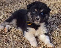 australian shepherd husky puppy 55 best puppy dogs images on pinterest animals australian