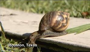 Where Can You Find Snails In Your Backyard Deadly Giant Snails Slime Their Way Into Houston Texas And Can