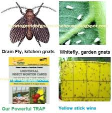 fruit flies in sink fruit flies in drain white fly drain fly fruit fly yellow sticky