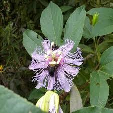 native plants passionflower vine grows passiflora incarnatapassionflower u2013 dropseed