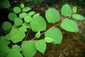 Non Invasive Climbing Plants - ohio u0027s top invasive plants