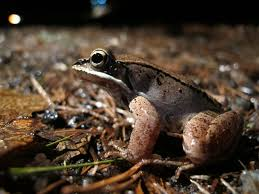something wild frozen wood frogs thaw out new hampshire public