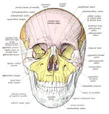 there are 29 bones hyoid included in the human skull and for many