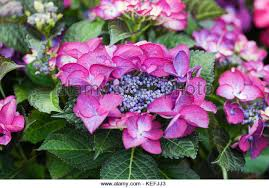 Purple Hydrangea Dark Purple Hydrangea Stock Photos U0026 Dark Purple Hydrangea Stock