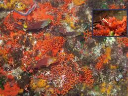 myriapora truncata false coral atlantisgozo com