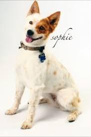 australian shepherd quesnel sophie australian cattle dog corgi jack russell cattle dog mix