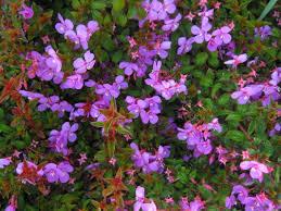 Decorative Shrubs Exotic Shrubs The Trees U0026 Flowers Of Whangarei