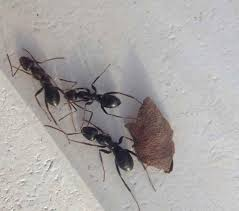 the best way to get rid of ants forever american extermination plus