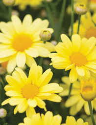 marguerite daisies beauty yellow tesselaar