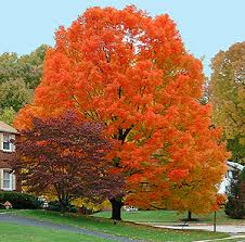 3 trees fall color autumn blaze maple crayon