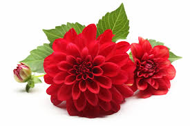 Birth Flower Of January - dahlia flower meaning flower meaning