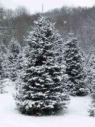 real christmas tree real christmas trees happy holidays