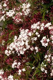 pink jasmine monrovia pink jasmine